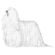 Komondor breed standard: The Komondor is characterized by imposing strength, dignity, courageous demeanor, and pleasing conformation. He is a large, muscular dog with plenty of bone and substance, covered with an unusual, heavy coat of white cords. The working Komondor lives during the greater part of the year in the open, and his coat serves to help him blend in with his flock and to protect him from extremes of weather and beasts of prey.