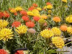 flora, áfrica sulO reino vegetal fynbos é endêmico na região do Cabo, na África do Sul. Suas plantas crescem em uma região onde só chove no Inverno e incêndios são frequentes no verão, o que lhes dá a aparência  característica. Existem três tipos de fynbos: vegetação Protea, vegetação tipo Urze, e vegetação Costeira.