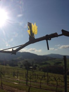 Bud Burst begins as the vines come back to life!!!