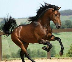 Lusitano stallion, Corsário Interagro.