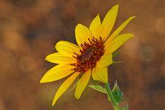 Sunflower found along the Harriet K. Maxwell Desert Wildflower Loop Trail.