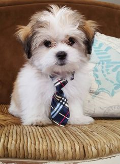 Mr. Bentley Bear #preppypup malti-zhu / malshi puppy