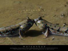 """500px / Photo """"Mudskipper"""" by Matcenbox"""