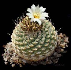 Strombocactus disciformis or Fir Cone Cactus