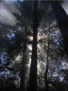 Sun shining through redwoods and mist, Oregon coast. Photo by Carolan Ivey.