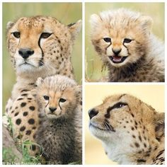 Only 25 cheetahs left in the Masai Mara, and no cubs have survived in 2 years. Please share, please help!