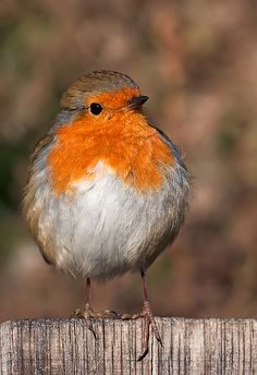 Robin - Flickr - Photo Sharing!