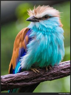Racket Tailed Roller                                                       …