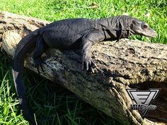 Black Dragon Monitor