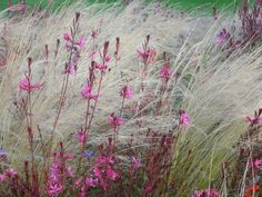 Gaura lindheimeri 'Siskiyou Pink' and Stipa tenuissima. Prairie Planting, Prairie Garden, Dry Garden, Gaura, Stipa, Herbaceous Border, Border Plants, Natural Garden, Colorful Garden
