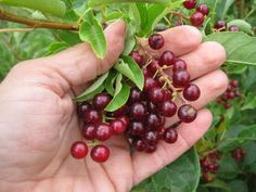 During August and September on the Prairies you'll find gleaming black cherries hanging in dense