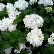 Is it just me or are the Hydrangeas particularly glowing this year? :: Hometalk