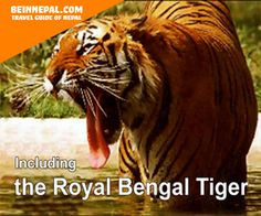 including the royal bengal tiger