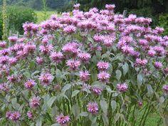 Monarda fistulosa (Wild Bergamot, aka Bee Balm), a true Wisconsin native popular with hummingbirds and butterflies
