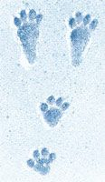 Snowshoe Hare Tracks | Tracks of a snowshoe hare in the ...