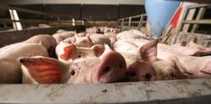 Factory Farms Pollute the Environment and Poison Drinking Water Hog Farm, University Of Bath, From Farm To Table, Confederate Statues, Modern Farmer, Livestock Farming, Agriculture Industry, Factory Farming, Animal Welfare