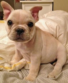 Norbert the French Bulldog-Sweet-Love the big head and little body! Cuddles!
