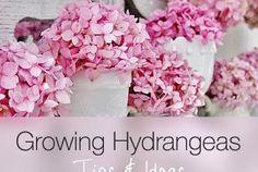 Growing Hydrangeas • Lots of Tips Ideas!