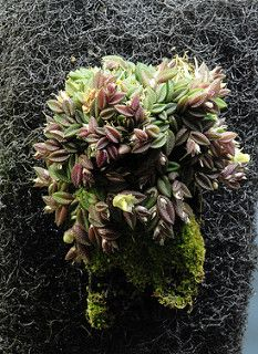 Dendrobium toressae