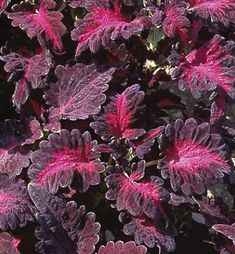 The 'Black Dragon' Coleus Plant is one of the more shade-loving coleus. The Black Dragon will add texture, interest and color to mixed garden and container plantings. Indoor Flowering Plants, Ornamental Plants, Foliage Plants, Purple Colour Shades, Dragon Rise, Gothic Garden, Seed Germination, Black Garden, Annual Flowers