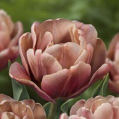 La Belle Epoque Double Late Tulip – Famous Last Words Tulips Garden, Garden Bulbs, Planting Bulbs, Tulips Flowers, Green Flowers, Spring Flowers, Garden Plants, Planting Flowers, Beautiful Flowers
