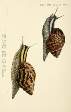 - Proceedings of the Zoological Society of London. - Biodiversity Heritage Library Note to self- mugs with snails crawling on them! Science Illustration, Nature Illustration, Antique Illustration, Botanical Illustration, Botanical Drawings, Botanical Prints, Sibylla Merian, Scientific Drawing, Nature Drawing
