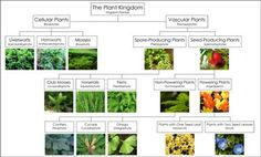 plant Classification Chart | ... BlogMontessori for Everyone Blog - The Optimization of Classification