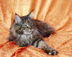 maine coon cats | Boehmoeh: Maine Coon Cat