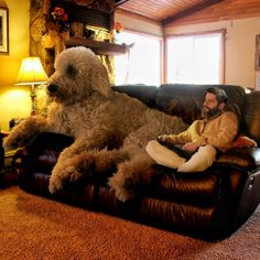 Meet Photographer Christopher Cline & His Giant Dog Juji Huge Dog Breeds, Huge Dogs, Giant Dogs, Horses And Dogs, Animals And Pets, Dogs And Puppies, Cute Animals, Giant Poodle, Minnesota