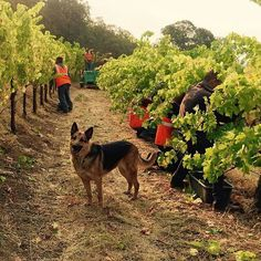 Repost @frankfamilyvineyards ・・・ Harvesting 2015 cabernet grapes this morning from our Winston Hill Vineyard with Riley supervising.  #WinstonHill #thedogsofwine #LifeOfRiley #harvest2015 #frankfamilyvineyards