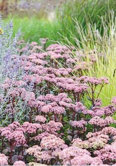 Sedum 'Matrona'. Pays its rent twice: once with its fleshy, dark-purple foliage and again with its heads of pink flowers. 90cm.