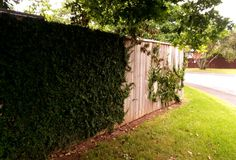 A creeper on a paling fence.