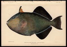 Julius Bien 1905 Black Trigger Fish