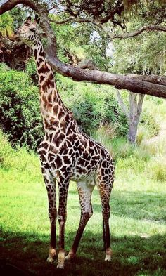 #giraffe #zoo #world #disney #green #forest Attraction Tickets, Professional Photographer, Giraffe, Traveling By Yourself, This Is Us, Disney, Green, Image, Beautiful