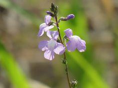 紫色の花. purple flower.3 May 2017.