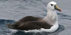 Atlantic Yellow-nosed Albatross Thalassarche chlororhynchos - Google Search