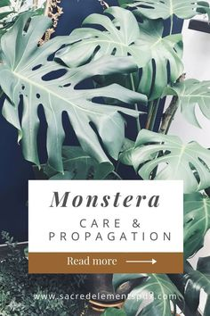 The monstera deliciosa plant makes a great houseplant for your home. It requires lots of bright indirect light and can grow very large when it's in the right environment. Keep reading to find out how to properly care for and propagate your monstera plant! Jungle Life, Diy Inspiration, Plant Health, House Plant Care, Monstera Deliciosa, Colorful Garden, Plant Design, Gardening For Beginners, Outdoor Plants