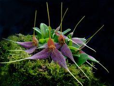 дива орхидея - Google Търсене