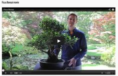 And another movie just added; Ficus Bonsai care. http://www.bonsaiempire.com/tree-species/ficus#movie #ficus #bonsai #movie #youtube