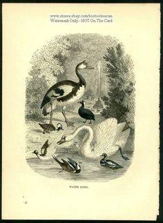 Birds: WATER FOWL Swan Goose Ducks c1900 Chromolithograph