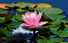 https://flic.kr/p/XfCSEN | Rising from the Lily pads