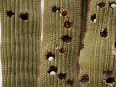 Golf balls in cactus. Time to drop! This is too funny