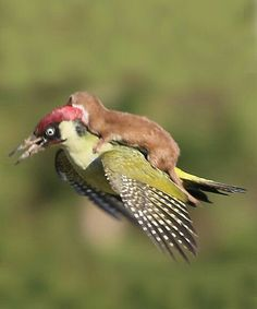 This Photo Of Baby Weasel Flying On A Woodpecker Won Our Hearts -- Until We Realized What Was Happening. The weasel was actually attacking the woodpecker! Nature Animals, Animals And Pets, Beautiful Birds, Animals Beautiful, Cute Baby Animals, Funny Animals, Unusual Animals, Tier Fotos, Funny Animal Pictures