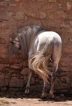 A Kingdom of Horses, Beautiful horse bowing in front of wall, long pulled together pretty this look surreal.