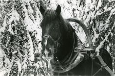 nannasalmi horsehair jewelry: Happy 99th Independence Day, Finland!  Finnhorse did the hard work in the winter war and we got to keep our independence. Thank you veterans - and all the horses!