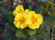 Come curare le #Primule http://www.comefaremania.it/curare-le-primule/ #comefare #giardinaggio #fiori