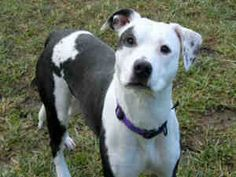 LEXI is an adoptable Pit Bull Terrier Dog in Santa Rosa, CA. lexi is a little nervous of new people at first, after spending a little times warms up to them. She was friendly when meeting other dog an...