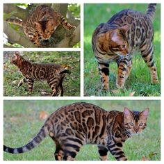 Bengal Cat, looks like a cheetah or leopard kitten/cub/idk