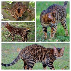 Bengal Cat, looks like a cheetah or leopard kitten/cub/idk