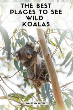 Seeing a koala in Australia is a must-do and seeing them in the wild is an incredible experience. Here's our guide to seeing wild koalas near Sydney and the best places to see them in the rest of Australia. Sydney, Melbourne, Australia Travel Guide, Visit Australia, Western Australia, Australia Honeymoon, Great Barrier Reef, Travel Humor, Funny Travel